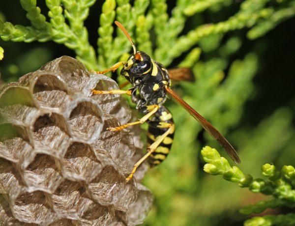 wat-doen-tegen-wespen-wespensteek-voorkomen